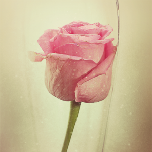 The Enchanted Rose 1